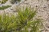 Pinus pondarosa