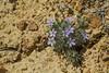 Langloisia setosissima ssp punctata