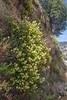 Mumulus ??Mimulus aurantiacus var. pubescens