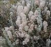 ?Artemisia cana, Silver sagebrush