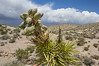 Yucca torreyi Yucca schidigera?