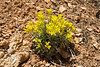 Physaria acutifolia