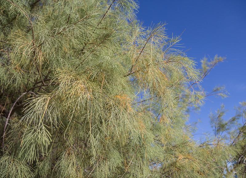 Tamarisk aphylla