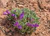 Penstemon thompsonae cf ssp. jaegeri