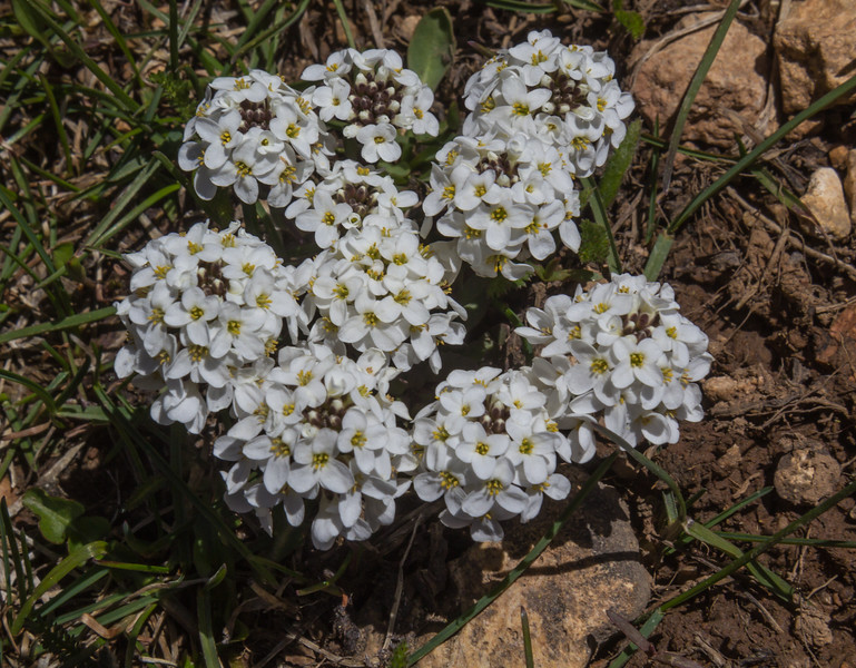 Cardamine bellidifolia