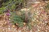 Astragalus spec.
