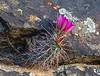 Echinocereus engelmannii