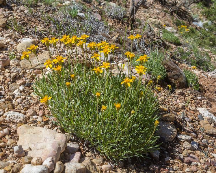 Chrysopsis villosa var. minor