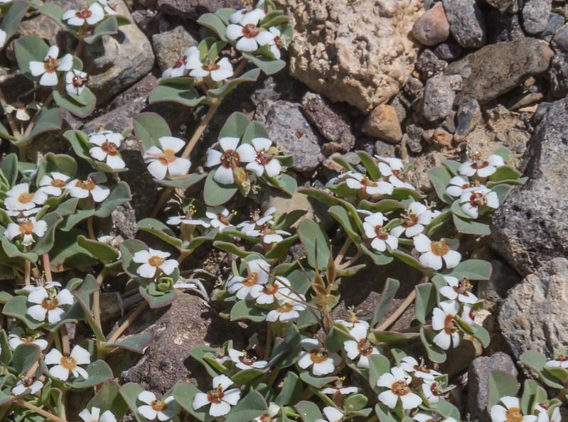 Euphorbia albomarginata