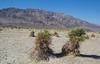 Devil's Cornfield,  Death Valley N.P. California