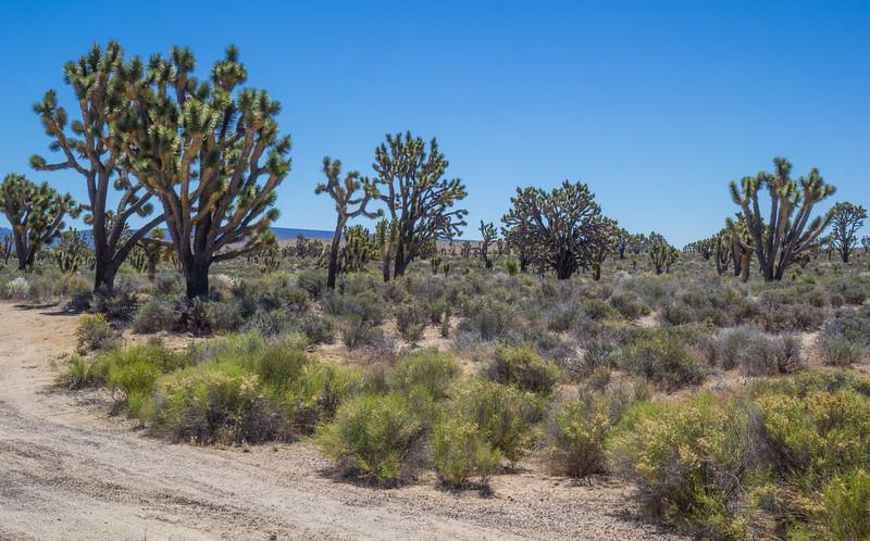 Yucca brevifolia