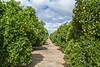 Orange plantation