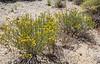 Euphorbia cf heterophylla