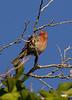Carpodacus mexicanus