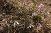 Clematis columbiana