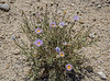 Xylorhiza tortifolia