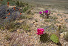 Opuntia spec and Echinocereus fasciculatus