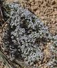 Leptodactylon caespitosum