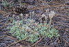 Antennaria microphylla