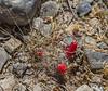 Mammillaria phellosperma