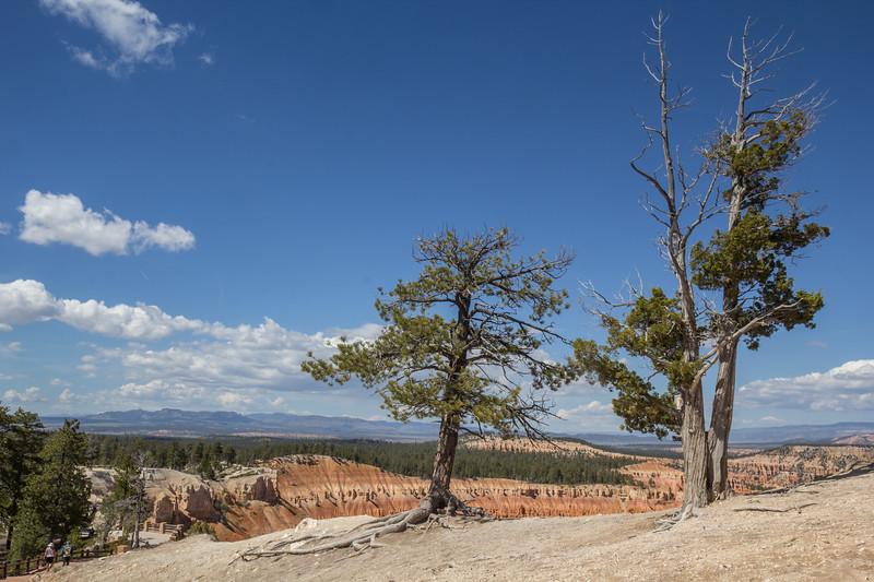 Pinus- and Juniperus spec