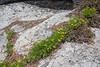 Lomatium spec