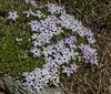 Phlox pulvinata
