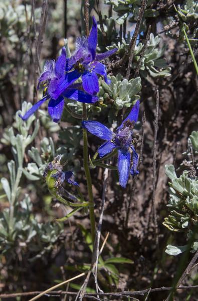Delphinium nutallianum