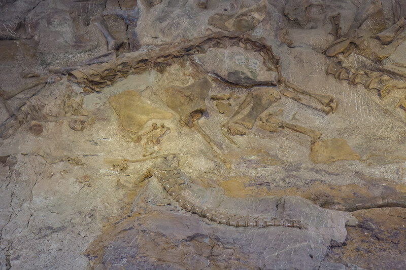 the most common dinosaur in the quarry is Camarasaurus