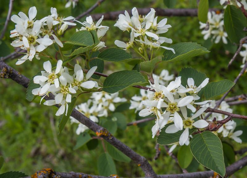 Amelanchier utahensis