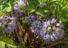 Hydrophyllum capitatum