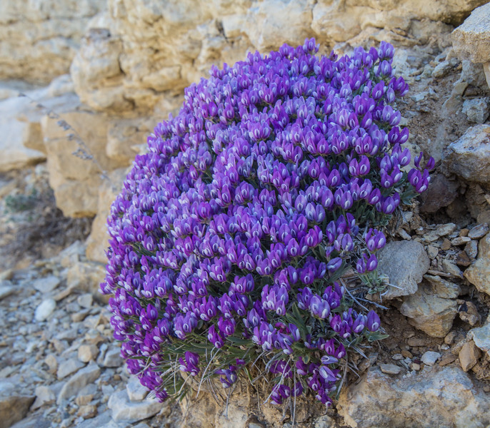 Astragalus detritalis