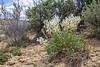 Astragalus cf praelongus
