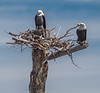 Bald Eagles on nest :-))