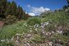 Phlox longifolia