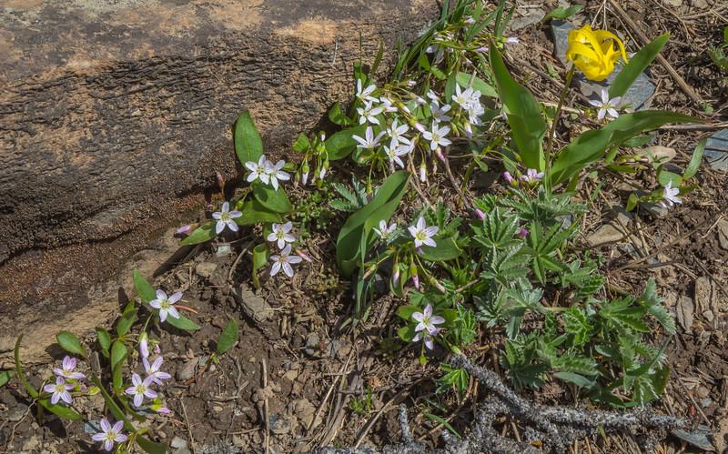 Claytonia lanceolatai and Erithronium grandiflorum