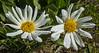 Weythia helianthoides