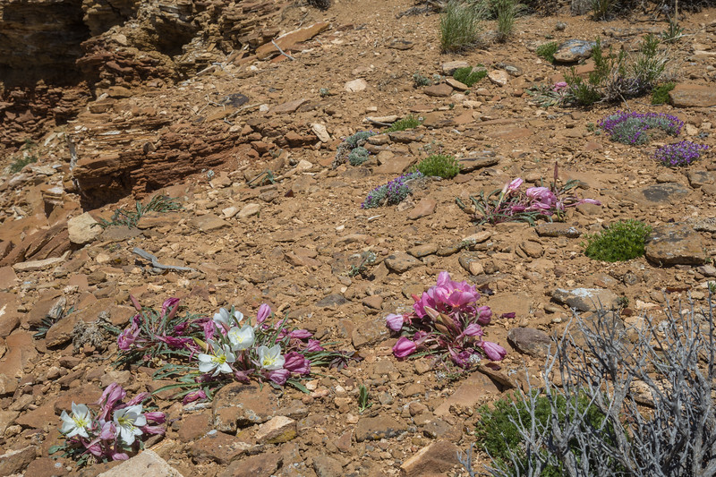 Oenothera caespitosa and Astragalus detritalis