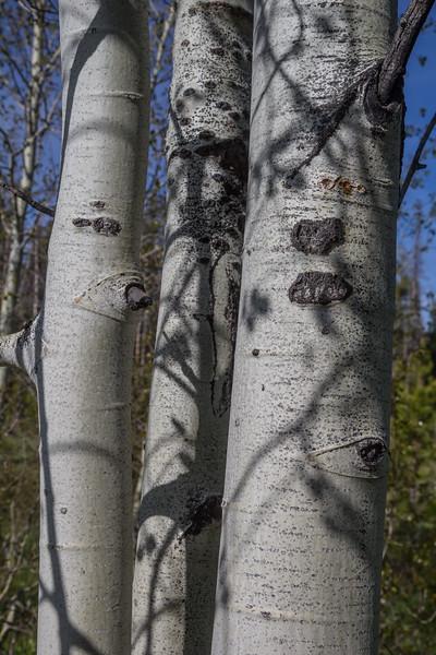 Populus tremuloides