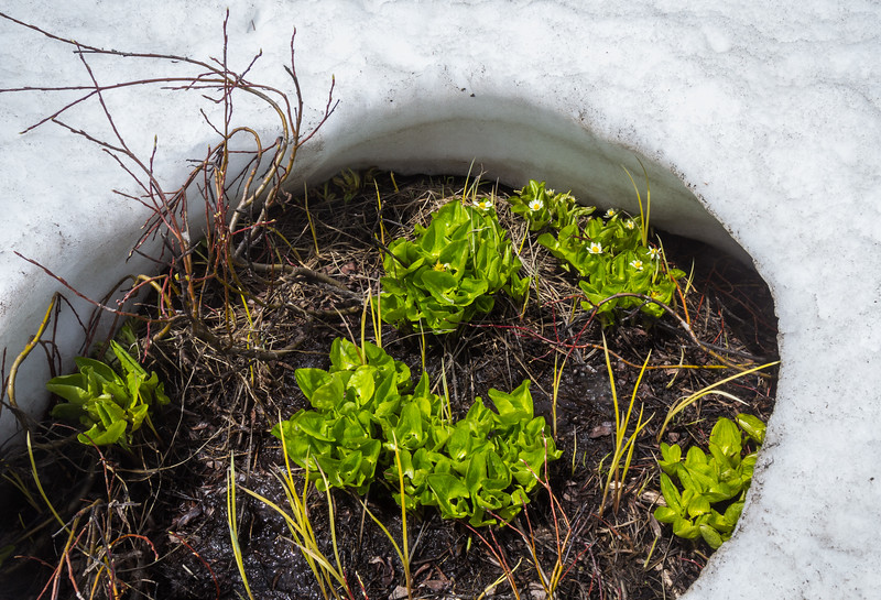 Caltha leptosepala ssp. leptosepala