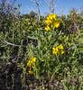 Thermopsis rhombifolia