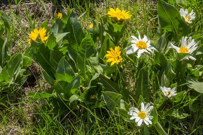 Weythia amplexicaulis and W. helianthoides