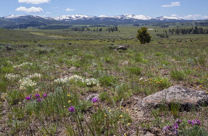 Oxytropis lagopus var. lagopus  and Astragalus purshii