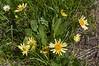 Weythia helianthoides X Weythia amplexicaulis