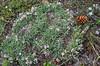Trifolium nanum