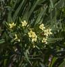 Lithospermum ruderale
