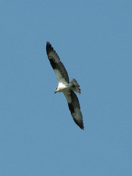 Pandion haliaetus, Osprey, (NL: Visarend) (near Anacortes, Washington)