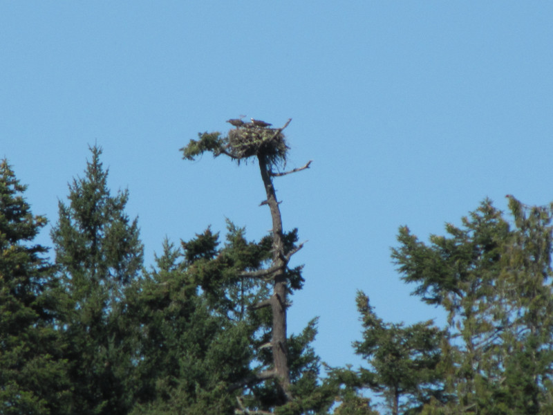 nest with Pandion haliaetus, Osprey (NL: visarend)