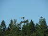 nest with Pandion haliaetus, Osprey (NL: visarend)