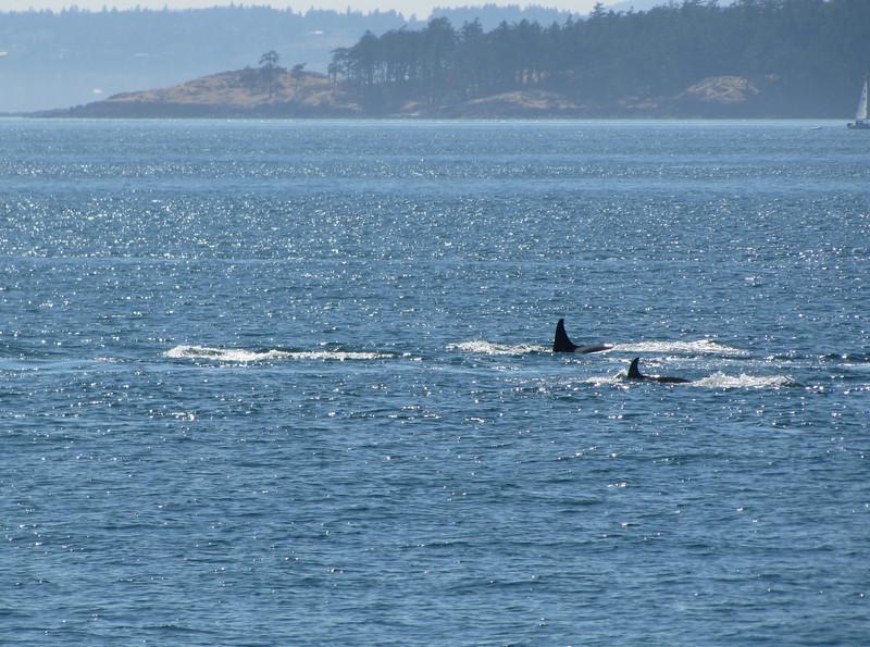 Orcinus orca, Orca or Killer Whale (San Juan Archipelago USA-Canadian border)